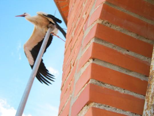 Rescate de una cigüeña atrapada en el pararrayos de herencia